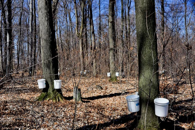 Maple Syrup Through History