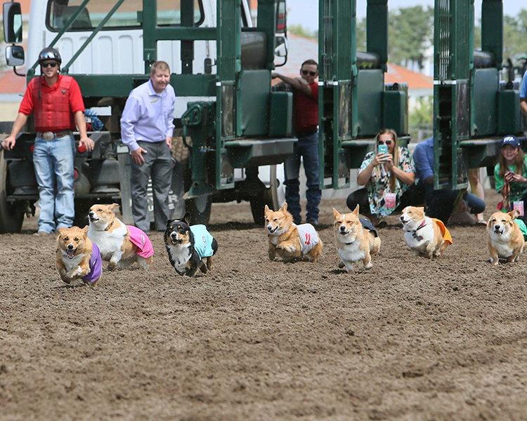 Corgi Dog Races & Cupcakes