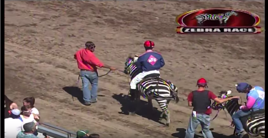2015 Zebra Race at Canterbury Park